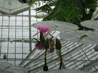 conservatory_water_lily.jpg